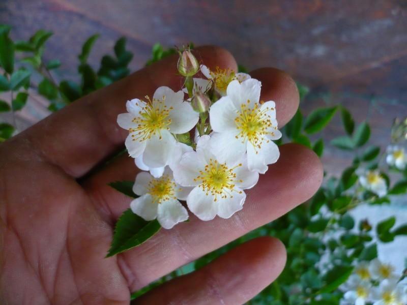 Una rosa senza spine..... - Pagina 2 P1070010