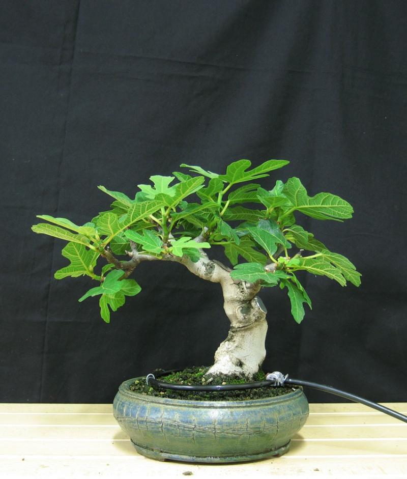 Ficus-Carica - Pagina 3 Senza-10
