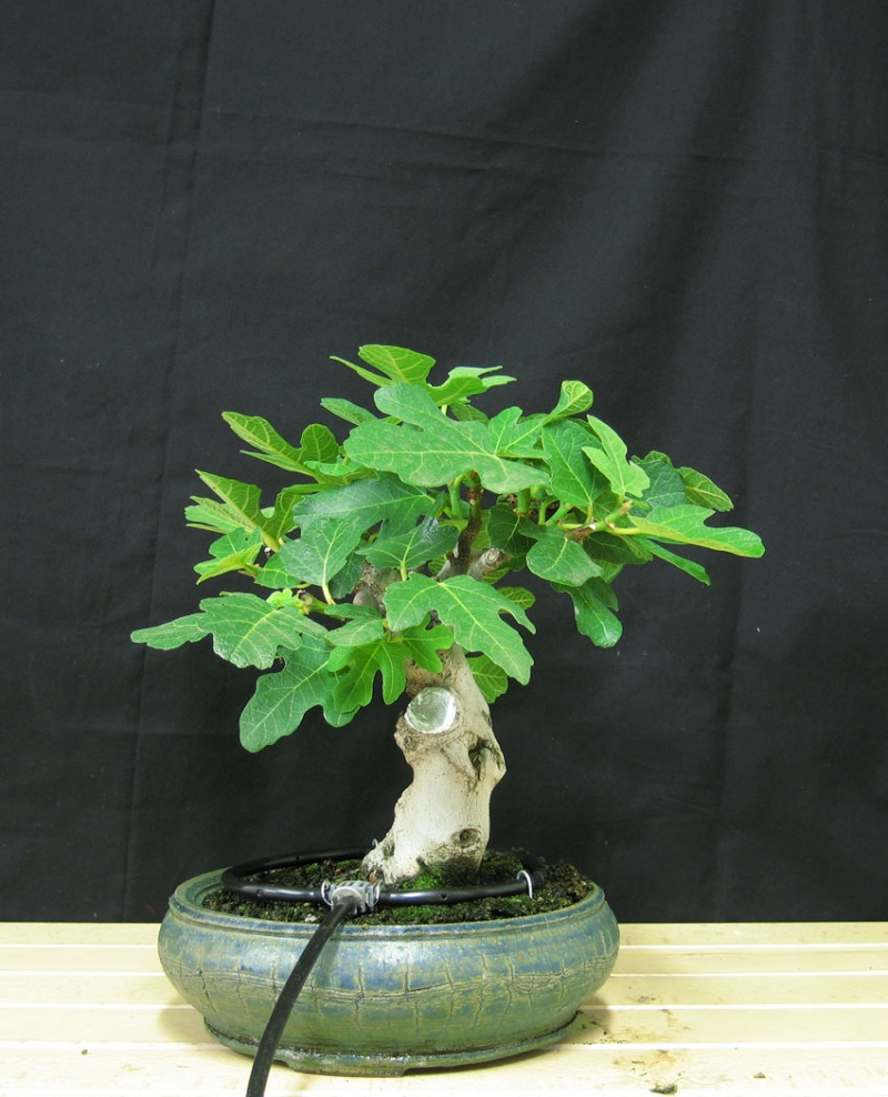 Ficus-Carica - Pagina 3 Senza-11