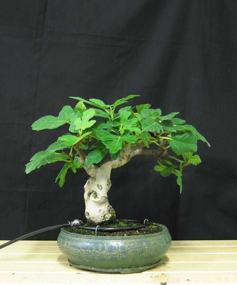 Ficus-Carica - Pagina 3 Senza-12