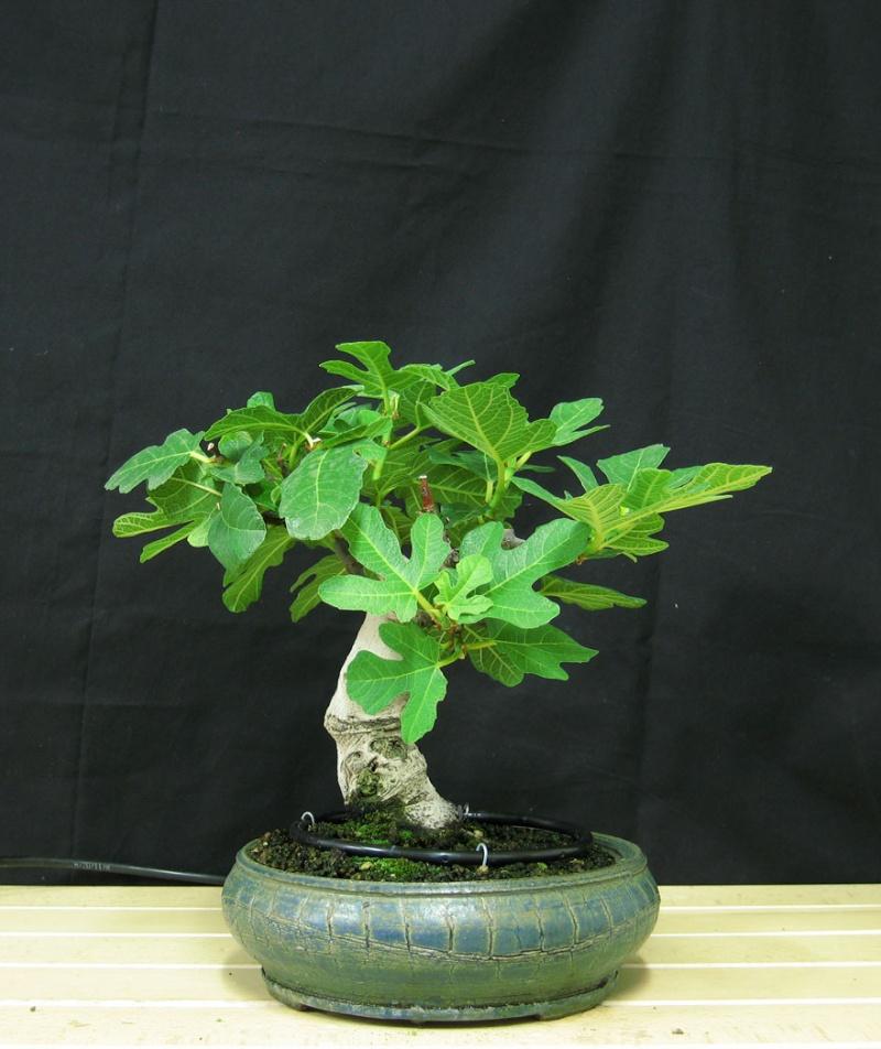 Ficus-Carica - Pagina 3 Senza-13