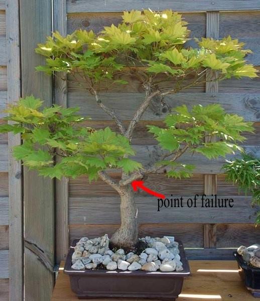Acer Shirasawanum Aureum Bonsai