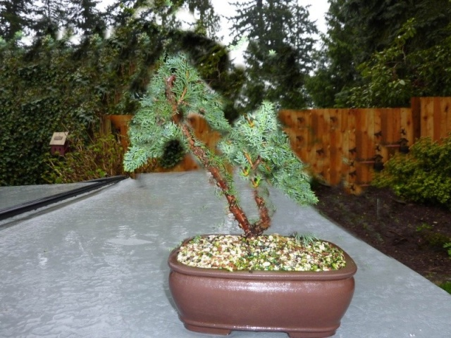 new (never wired or pruned) juniper. need help Junipe10