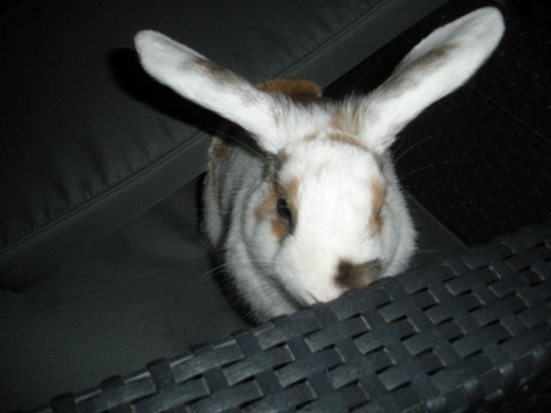 Nina, lapine bélier, née en aout 2011 Dscn9810