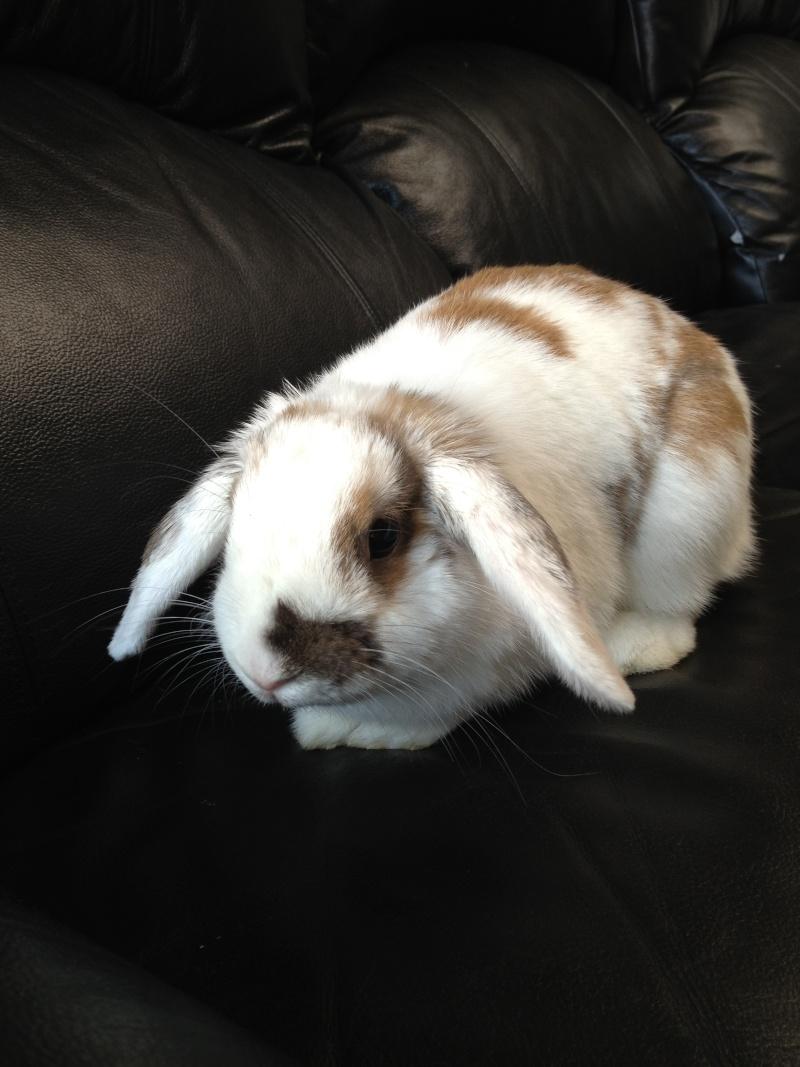 Nina, lapine bélier, née en aout 2011 Img_1318