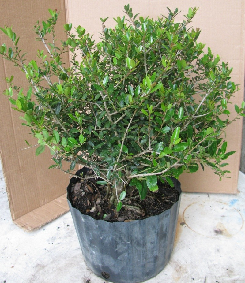 What to do with this dwarf Yaupon holly? Img_0113