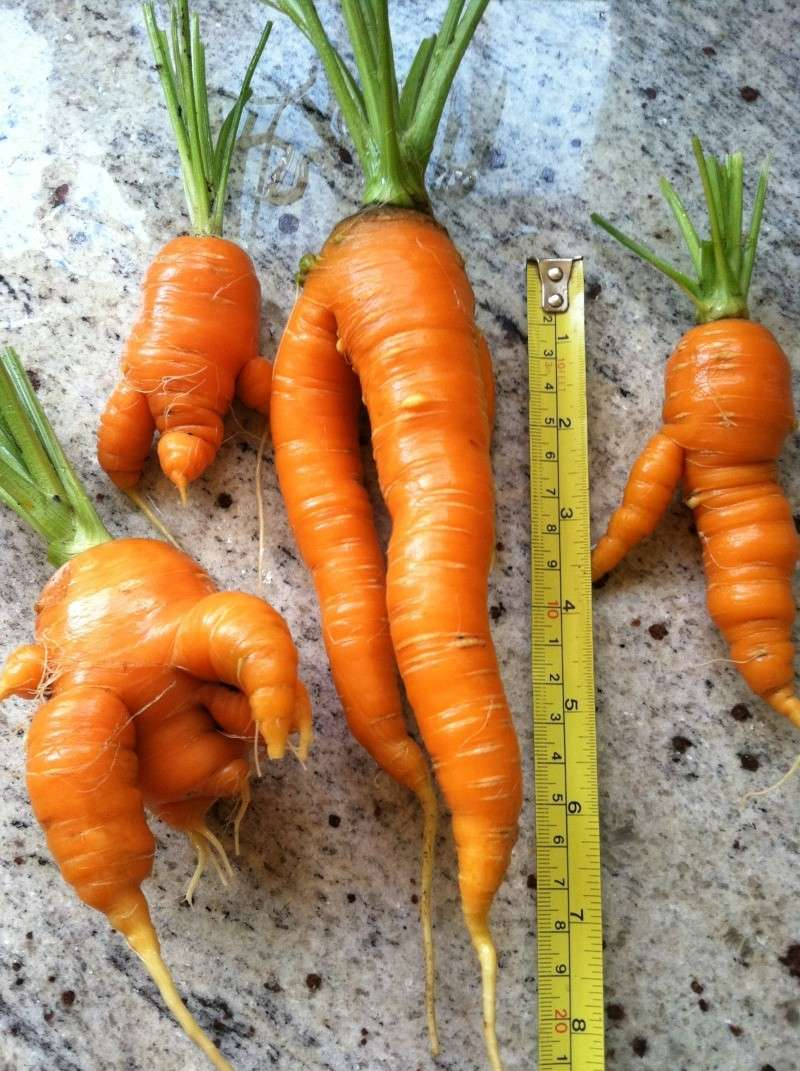 Carrot Week 2012! - Page 14 Img_0511