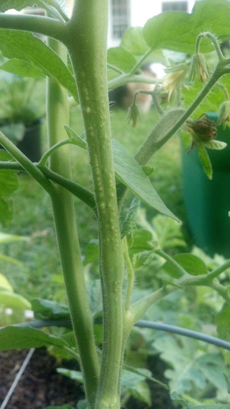 Bumps on the stem of tomato? Bumpso10