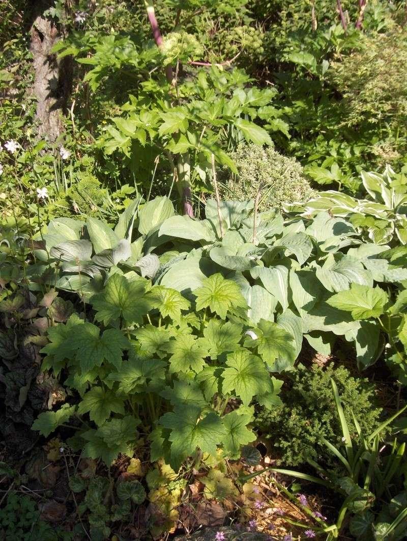 Petit tour du jardin côté montagne Hostas10