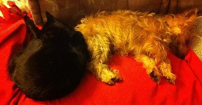 Chanel- cairn terrier  3 ans Channe11