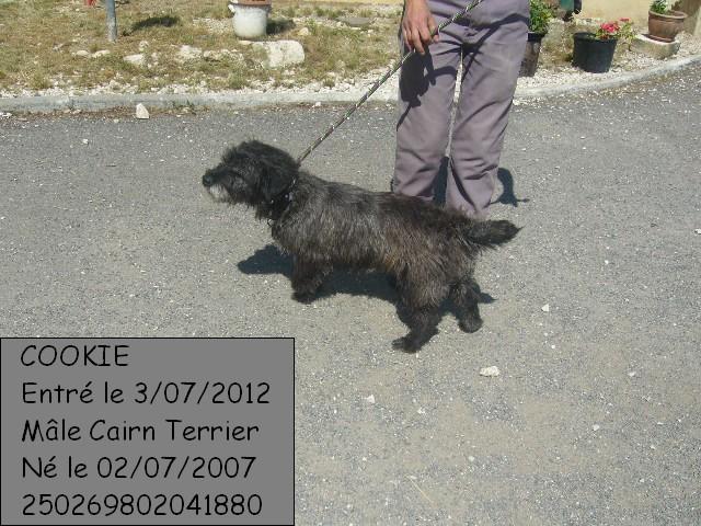 Cookie- cairn terrier- Refuge de Mornac (16) Cookie10