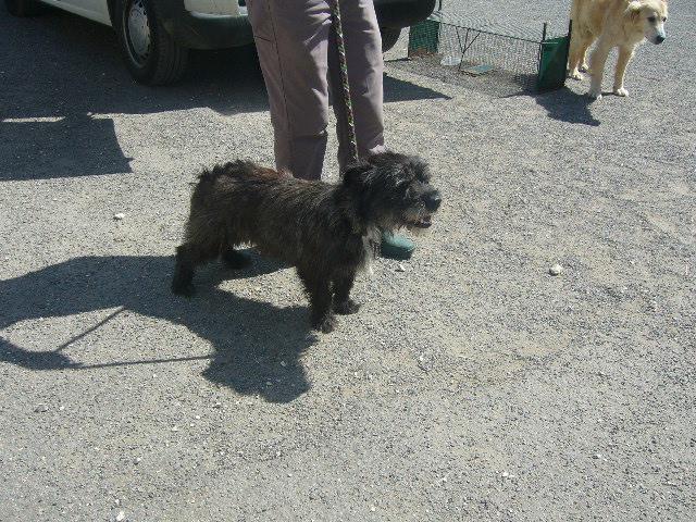 Cookie- cairn terrier- Refuge de Mornac (16) Cookie11