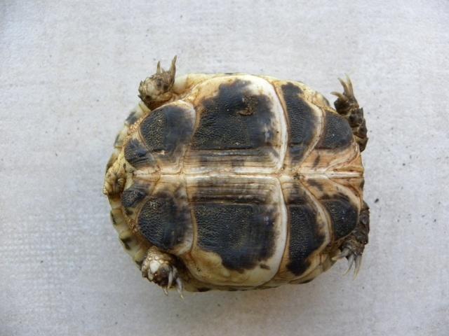 tortue  terrestre de tom pouce Dscn5912