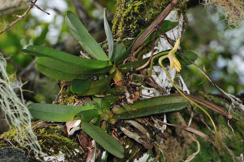 Jumellea divaricata: une rareté dans l'île Jumell11