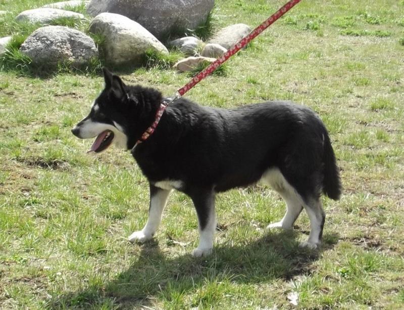 FLORI x husky (f) APAL née en 2002.CHERCHE ADOPTANT SUISSE ASSO ESPAGNE Flori410