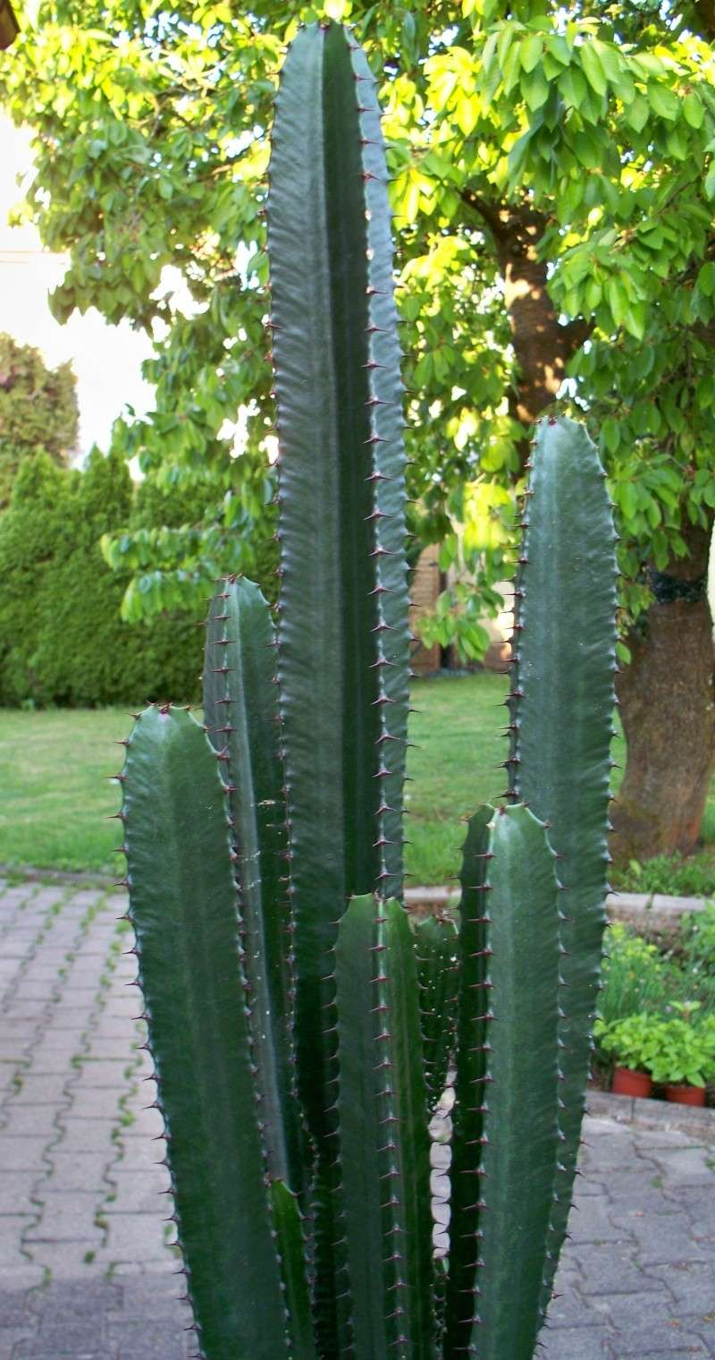Euphorbia acrurensis 100_2511