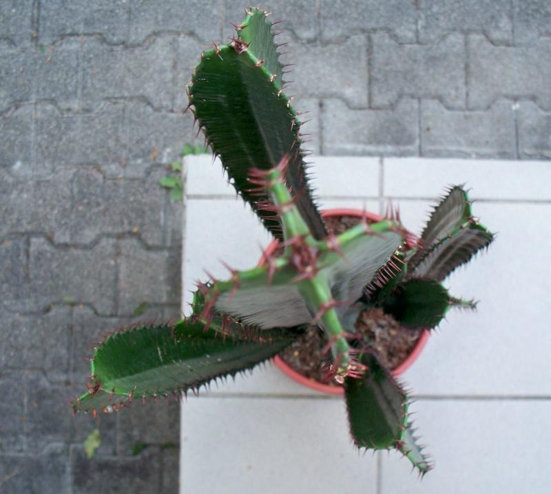 Euphorbia acrurensis 100_2513
