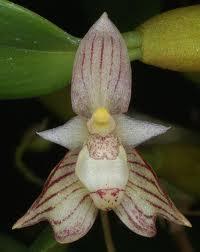 Dendrobium tetragonum Images10