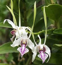 Dendrobium tetragonum Images11