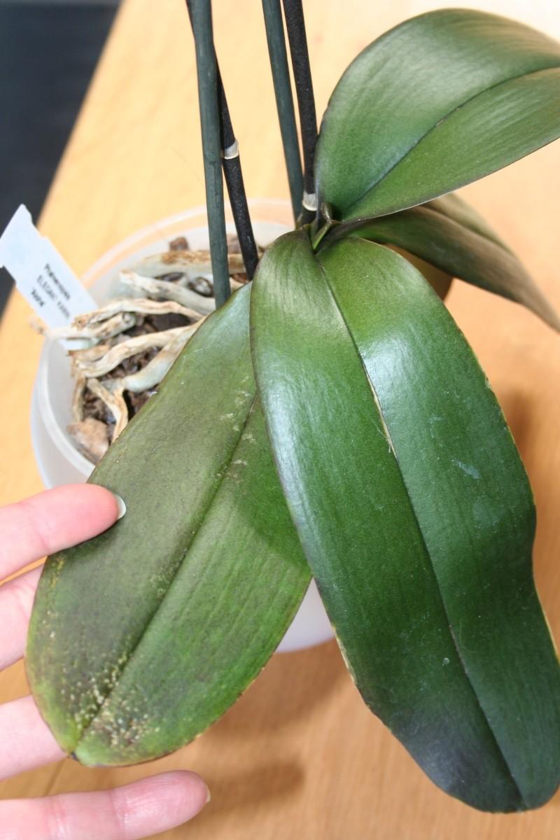 mon jardin d'orchidées ...avec exemple de plante en stress (avant et après ) Img_2229