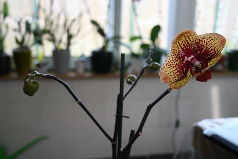 mon jardin d'orchidées ...avec exemple de plante en stress (avant et après ) Img_2230
