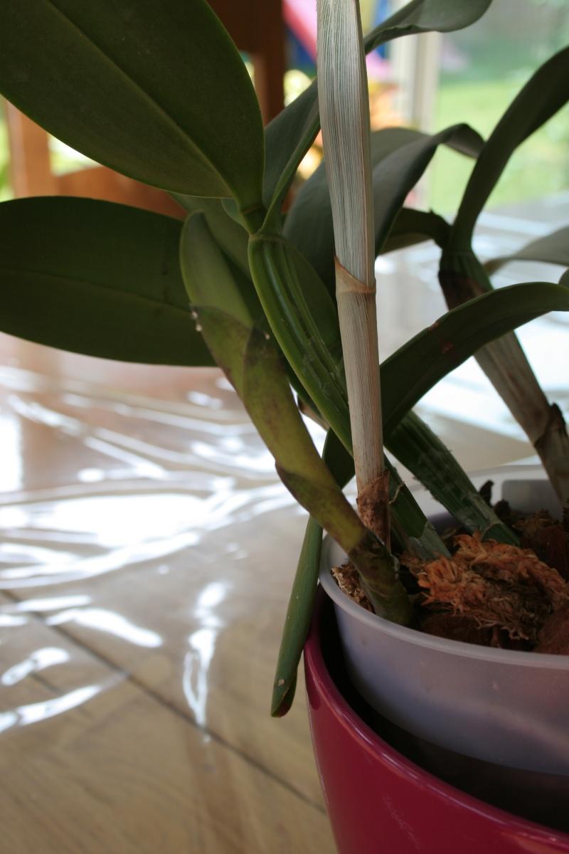 cattleya intermedia Laelia purpurata Img_2247