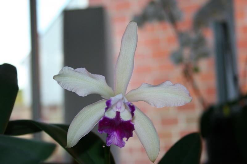 cattleya intermedia Laelia purpurata Img_2312