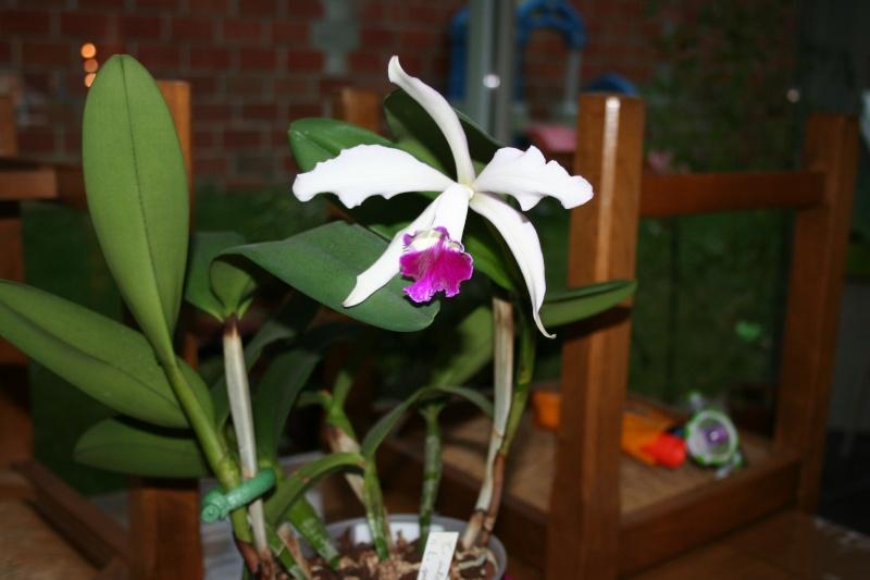 cattleya intermedia Laelia purpurata Img_2710