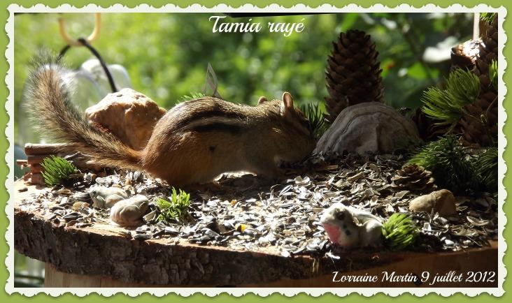 Tamia rayé Dscf0411
