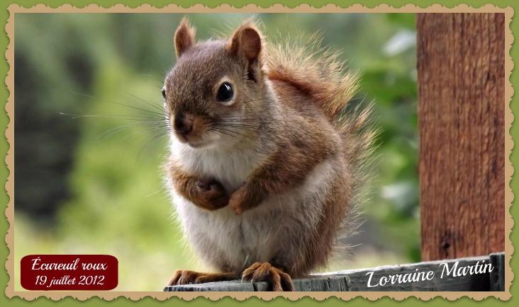 Écureuil roux  Dscf0813