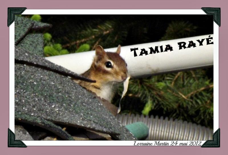 Tamia rayé aux aguets  Dscf7212