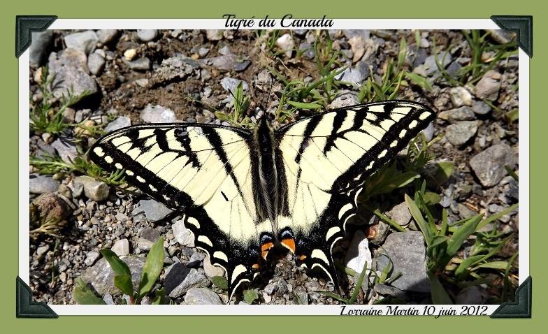 Tigré du Canada  Dscf8611