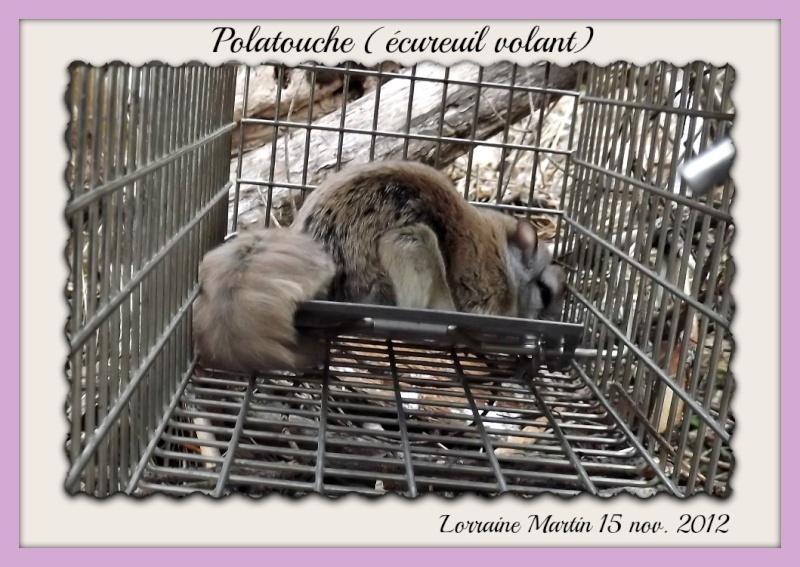 Polatouche (écureuil volant) Dscf9012
