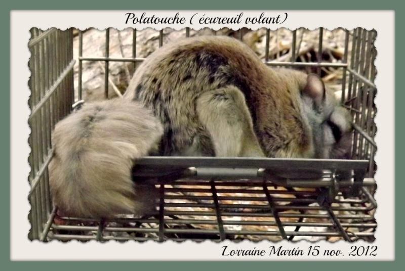 Polatouche (écureuil volant) Dscf9013