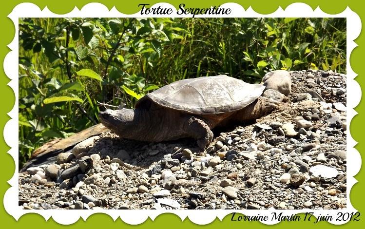 Tortue Serpentine (lifer)  Dscf9116