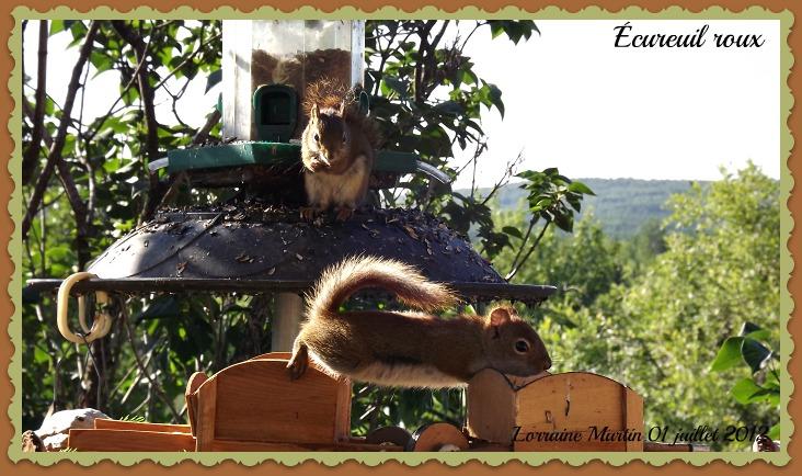 Écureuils roux  Dscf9917