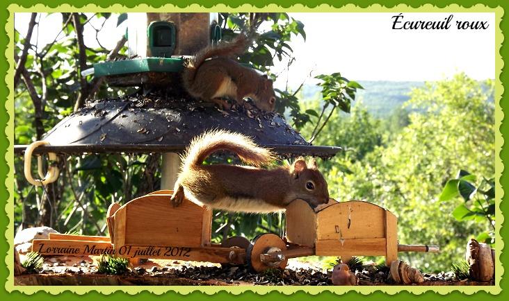 Écureuils roux  Dscf9918