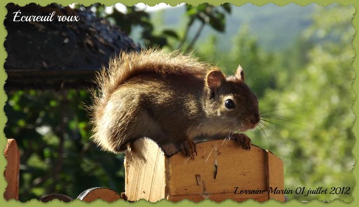 Écureuils roux  Dscf9919