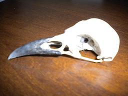 Crâne d'oiseau retrouvé Quel_e10