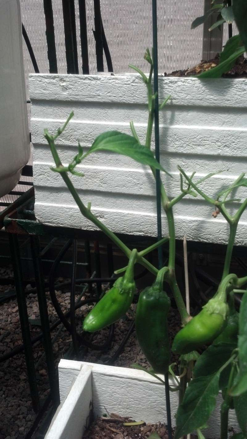 Pepper leaf problems - curling, yellow and eaten 2012-018
