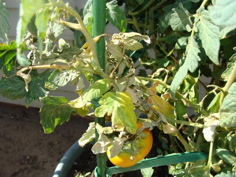 I Need Help Identifying Garden Problems Tomato12