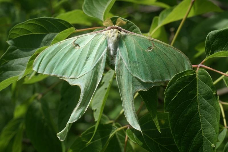 Papillon lune - Actias luna Papill10