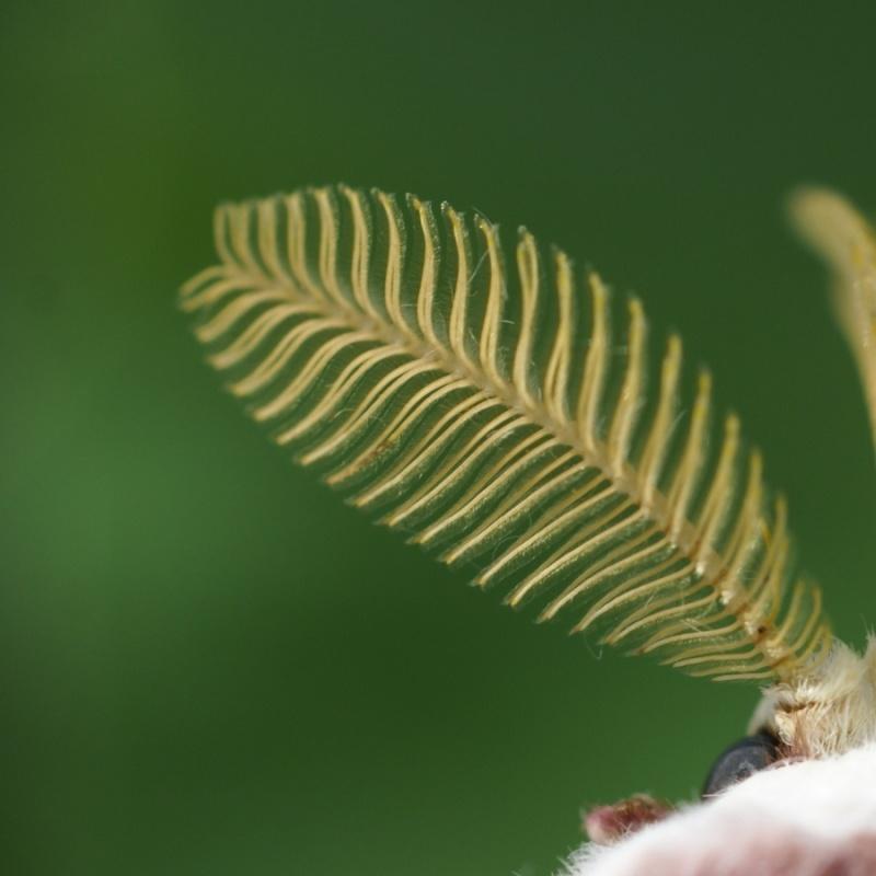Papillon lune - Actias luna Papill12