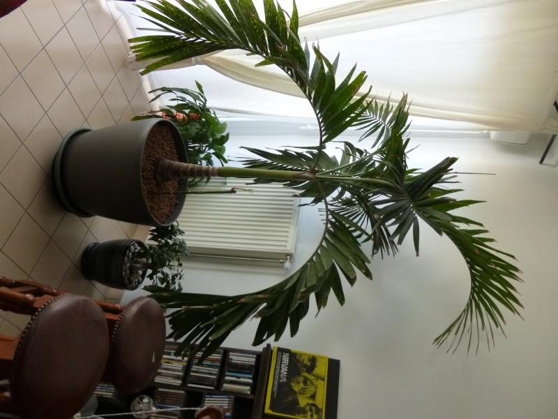 Quel est mon palmier? Besoin d'aide pour l'entretien, merci P1000014