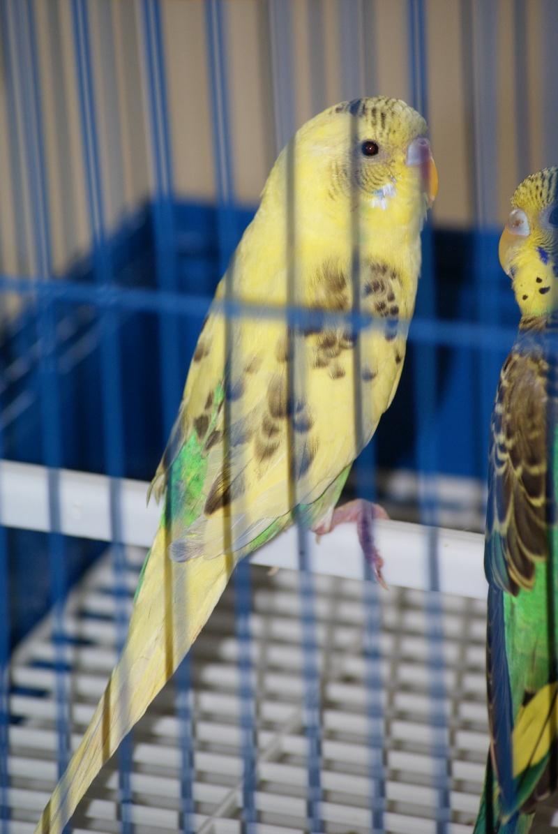 perruche aux ailes coupées Cou_210
