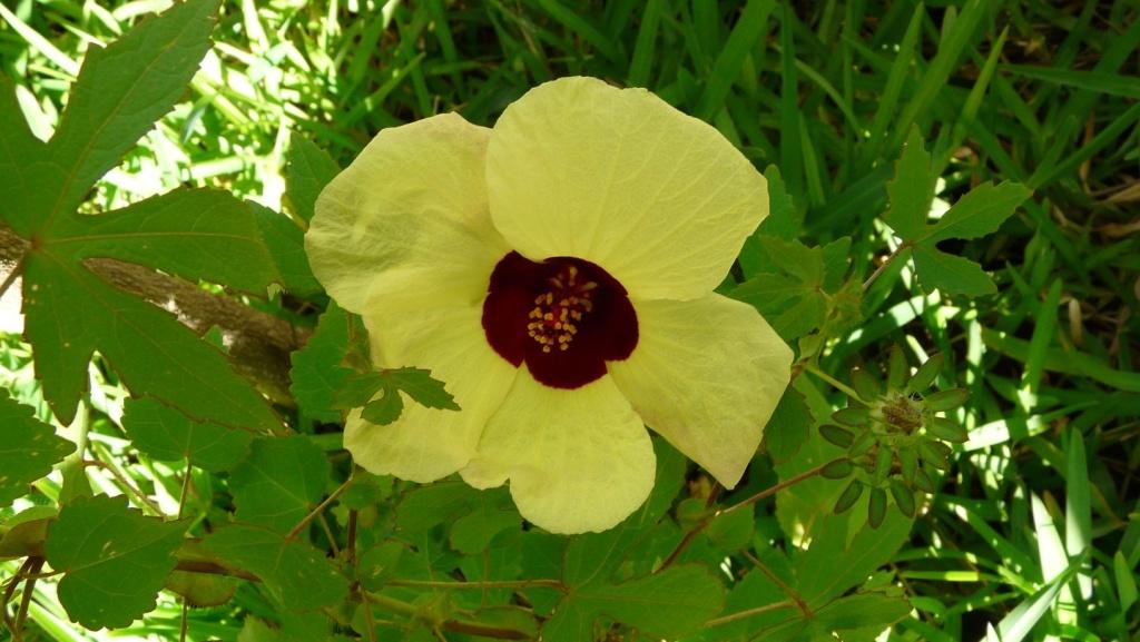 Identification de plante a épine et fleur jaune... P1080410
