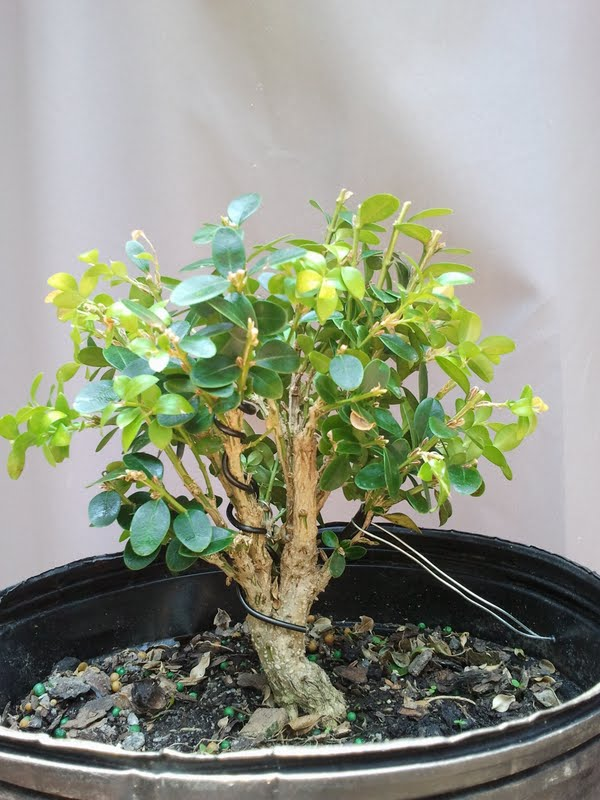 My Wintergreen Boxwood Mail-512