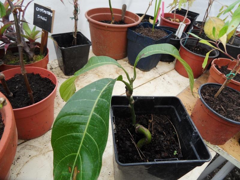 la culture du manguier, germination ... 01512