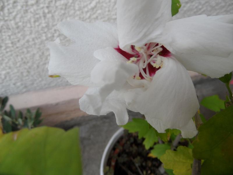 Mes hibiscus et moi...une longue histoire - Page 12 17210
