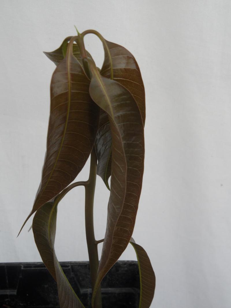 la culture du manguier, germination ... 45710